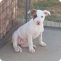 Adopt A Pet :: The States Litter - Montana - Bellflower, CA