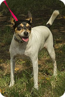 Jack Russell Terrier Dog for adoption in Norman, Oklahoma - Baby