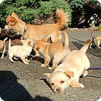 Adopt A Pet :: Gingers Litter - Santa Rosa, CA