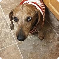 Adopt A Pet :: Scooby - Ogden, UT