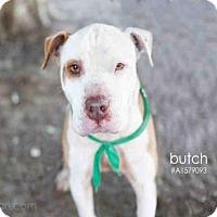 Adopt A Pet :: BUTCH - Van Nuys, CA