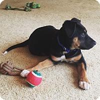 Adopt A Pet :: Bella - Knoxville, TN