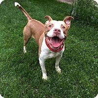 Adopt A Pet :: Tank - Hazel Park, MI
