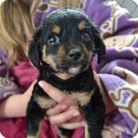 Adopt A Pet :: Honolulu - Frederick, MD