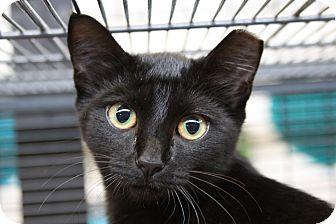 Domestic Shorthair Cat for adoption in Sarasota, Florida - Celeste