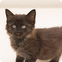 Adopt A Pet :: Smudge - Fountain Hills, AZ