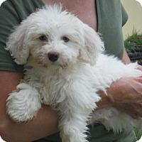 Adopt A Pet :: Fletcher PENDING - Manchester, NH