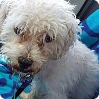 Miniature Poodle Mix Dog for adoption in Scottsdale, Arizona - Echo