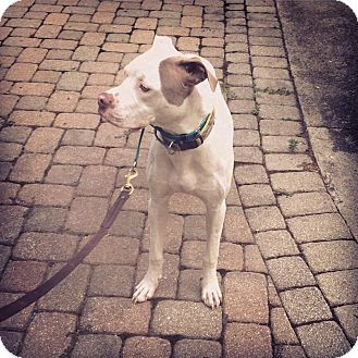 Cane Corso/American Staffordshire Terrier Mix Dog for adoption in Loveland, Ohio - Cranberry
