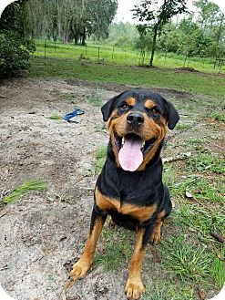 Rottweiler Dog for adoption in New Smyrna Beach, Florida - Juice