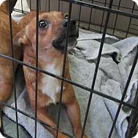 Chihuahua Dog for adoption in Cocoa, Florida - Hutch (Cocoa Center)