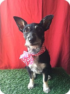 Terrier (Unknown Type, Small) Mix Dog for adoption in Corona, California - LULU