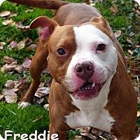Adopt A Pet :: Freddie - Mason, MI