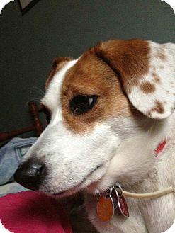 Beagle/Hound (Unknown Type) Mix Dog for adoption in Toronto, Ontario - Casey