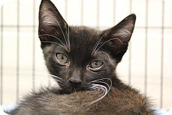 Domestic Shorthair Cat for adoption in Sarasota, Florida - Cupid