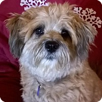Cockapoo Mix Dog for adoption in Campbell, California - Mojo