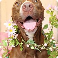 Adopt A Pet :: Twinkie - Tampa, FL