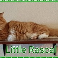 Adopt A Pet :: Little Rascal - Kennedale, TX