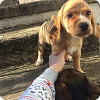 Adopt A Pet :: Mickey (RBF) - Washington, DC