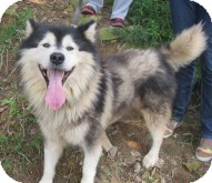 Alaskan Malamute Mix Dog for adoption in Augusta County, Virginia - Beast from Korea