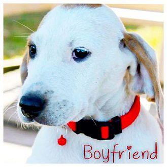 English (Redtick) Coonhound/Ibizan Hound Mix Puppy for adoption in Garden City, Michigan - Boyfriend