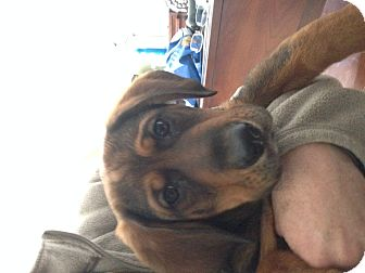 Basset Hound/German Shepherd Dog Mix Puppy for adoption in Cincinnati, Ohio - Rickon