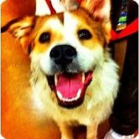Adopt A Pet :: Hollie-Courtesy post - Scottsdale, AZ