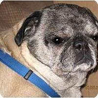 Adopt A Pet :: Gizzy-NJ - Mays Landing, NJ