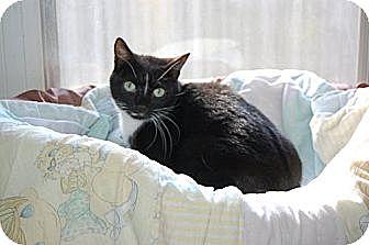 Domestic Shorthair Cat for adoption in Hot Springs, Arkansas - Harley