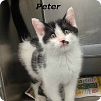 Adopt A Pet :: Peter - Dover, OH