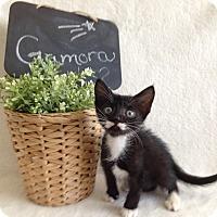 Adopt A Pet :: Gamora - Coral Springs, FL