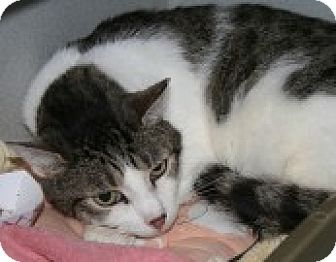 Domestic Shorthair Cat for adoption in Marietta, Georgia - Louis