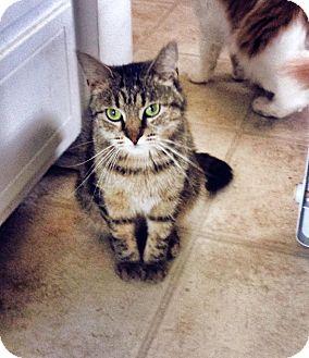 Domestic Shorthair Cat for adoption in Burlington, North Carolina - INGRID