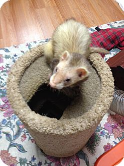 Ferret for adoption in Fawn Grove, Pennsylvania - Cody