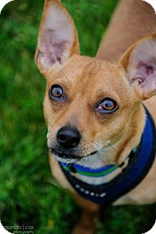 Dachshund/Chihuahua Mix Puppy for adoption in Southeastern, Pennsylvania - Marty
