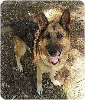 German Shepherd Dog Dog for adoption in Huntington, New York - Hannah