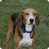 Adopt A Pet :: Archie - Hawk Point, MO