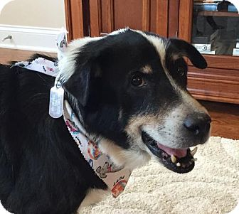 Border Collie Mix Dog for adoption in Glen Burnie, Maryland - Teddy - Adoption Pending - Congrats Carrie!