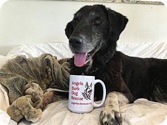 Labrador Retriever Dog for adoption in Beverly Hills, California - Baloo