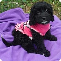 Adopt A Pet :: Dutchess PENDING - Manchester, NH