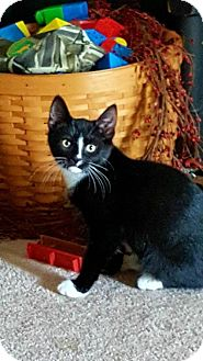 Domestic Mediumhair Kitten for adoption in Nesquehoning, Pennsylvania - Ace