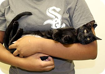 Domestic Shorthair Kitten for adoption in McCormick, South Carolina - Sissie