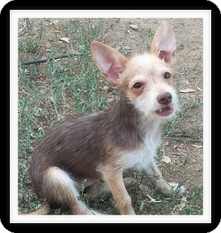 Chihuahua/Terrier (Unknown Type, Small) Mix Puppy for adoption in Winchester, California - LITTLE JOE