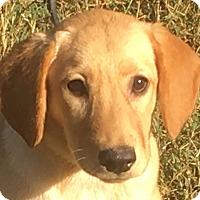 Adopt A Pet :: Lady - Staunton, VA