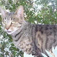 Domestic Shorthair Cat for adoption in Santa Clara, California - Sweet Pea