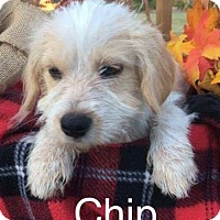 Adopt A Pet :: Chip LBM in LA - Providence, RI
