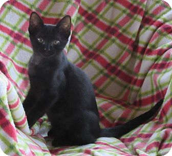 Domestic Shorthair Kitten for adoption in Glenwood, Minnesota - Scout