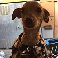 Adopt A Pet :: Patrick - Westminster, CA