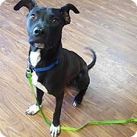 Adopt A Pet :: Vince - Colorado Springs, CO