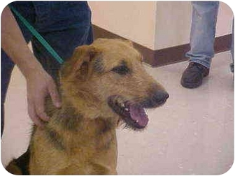 Airedale Terrier/German Shepherd Dog Mix Dog for adoption in